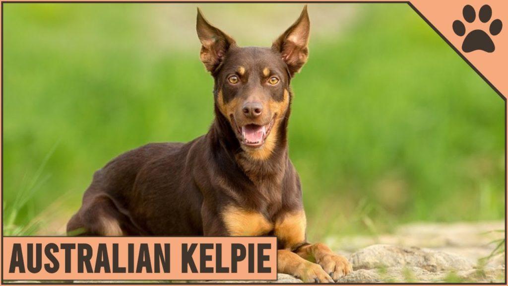 Australian Kelpie Dog Breed Information – Buy Your Pet